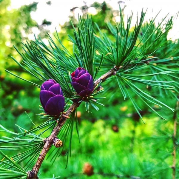 Young purple tamarack cones