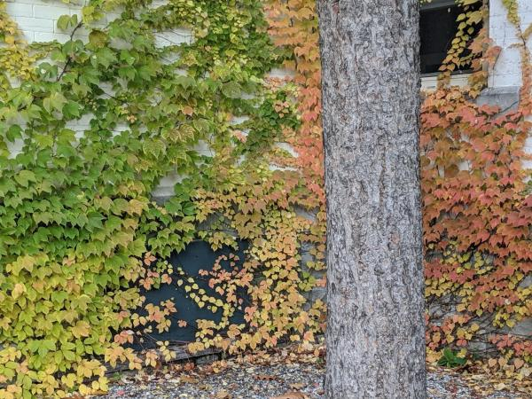Vines with autumn colors growing on the monastery wall, photograph by Ven. Mishin Roelofs godo