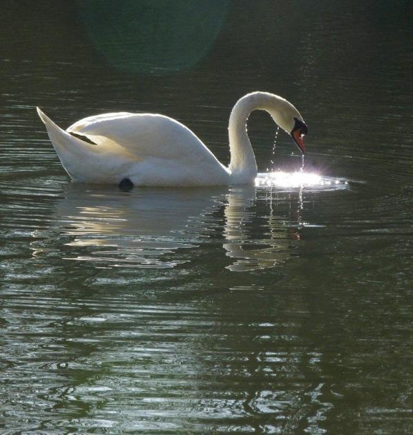 White Swan, photograph by Frank Tettsu Woods, Harrow Zazenkai, UK