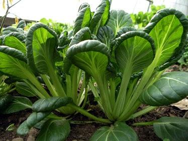 Tatsoi (greens)