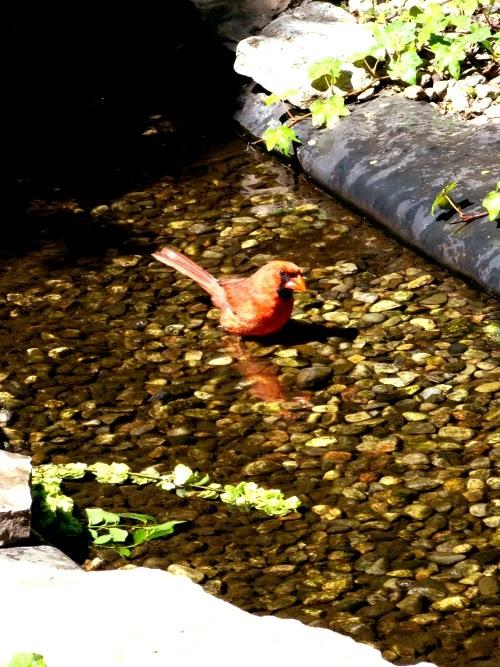 Bathing cardinal, photograph by Ven. Shikai Zuiko sensei