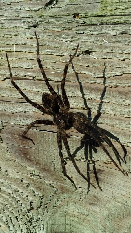 Fishing spider, photograph by Dr. Jinen S. Boates, Wolfville zazenkai