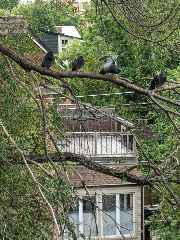 4 pigeons on a wire, Photograph by Ven. Jinmyo Renge osho-ajari