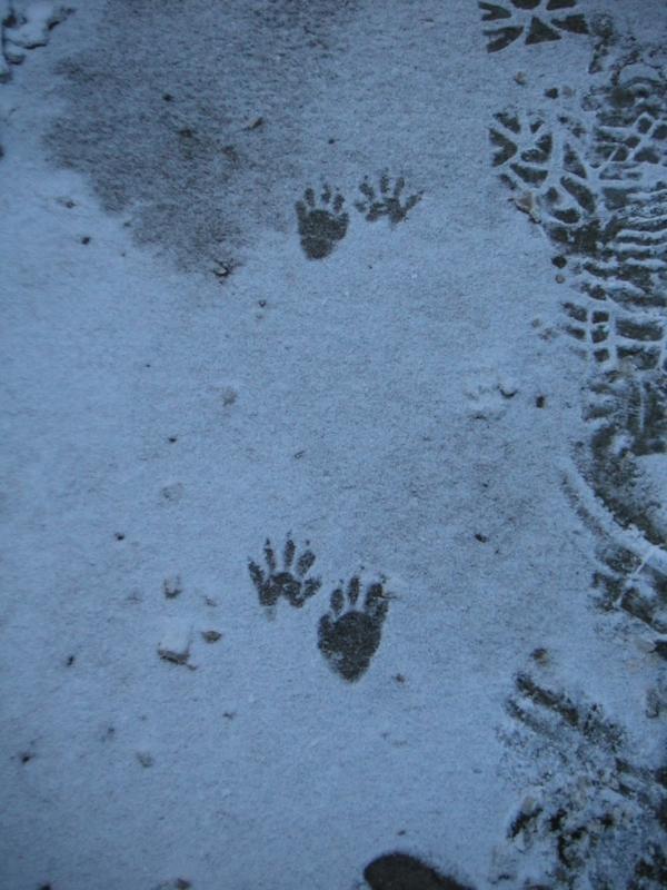 Animal prints in snow, photograph by Ven. Shikai Zuiko sensei